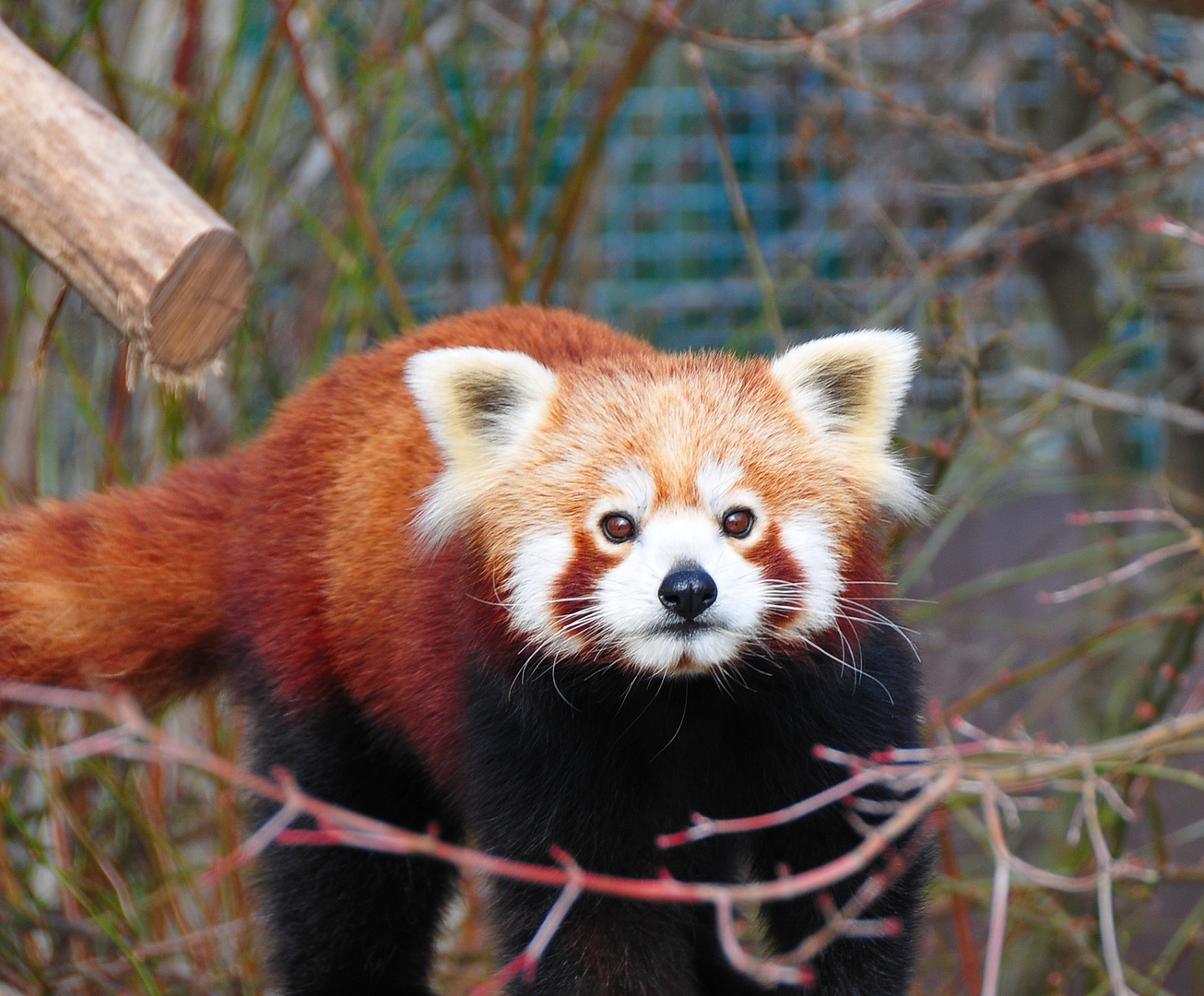 Katzenbär oder kleiner Panda