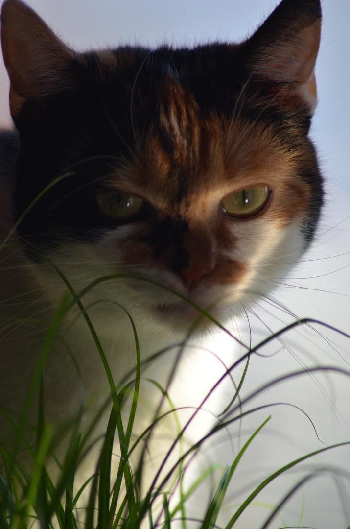 Katzengras..