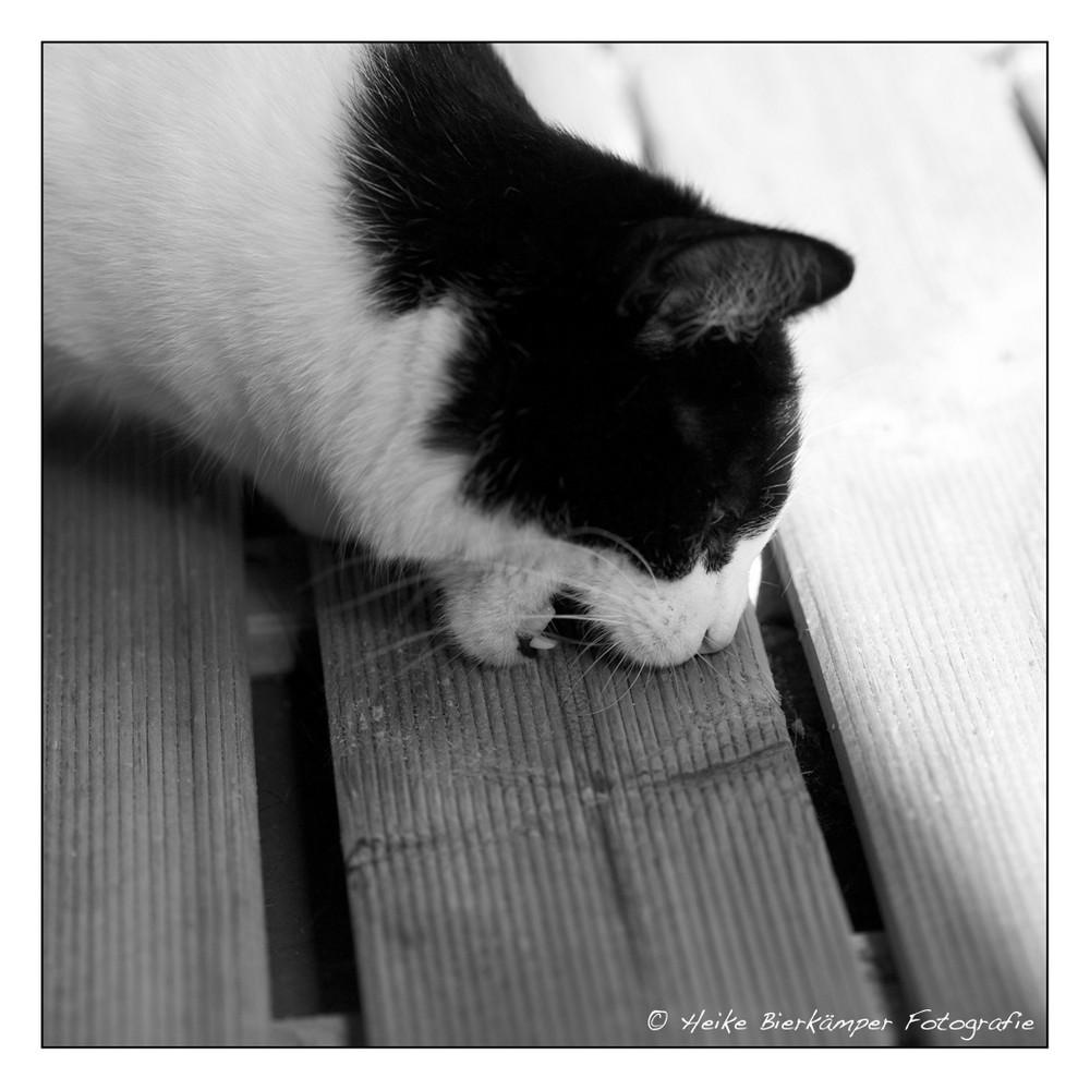 Katzenmarder