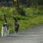 Katzenmarsch