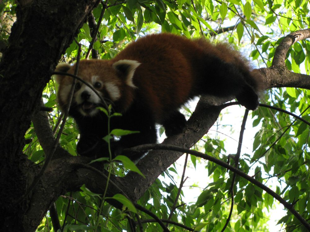 katzenpanda roter panda foto bild tiere zoo wildpark falknerei s ugetiere bilder auf. Black Bedroom Furniture Sets. Home Design Ideas