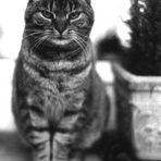 Katzenportrait in sw