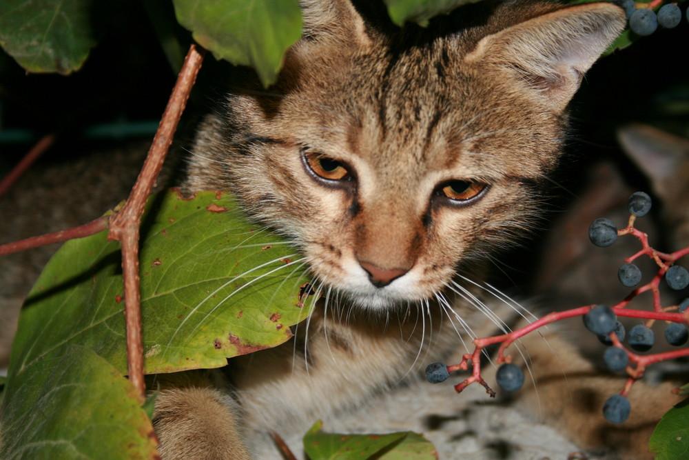 Katzentiger