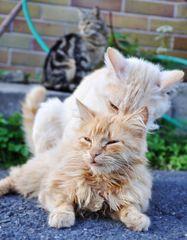 Katzenvoyuer