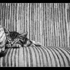 Katzenzebra