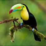 [ Keel-billed Toucan ]