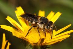 Kegelbiene - Coelioxys elongata - Weibchen