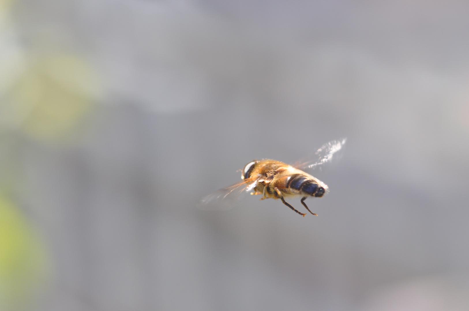 Keilfleckschwebfliege in der Luft