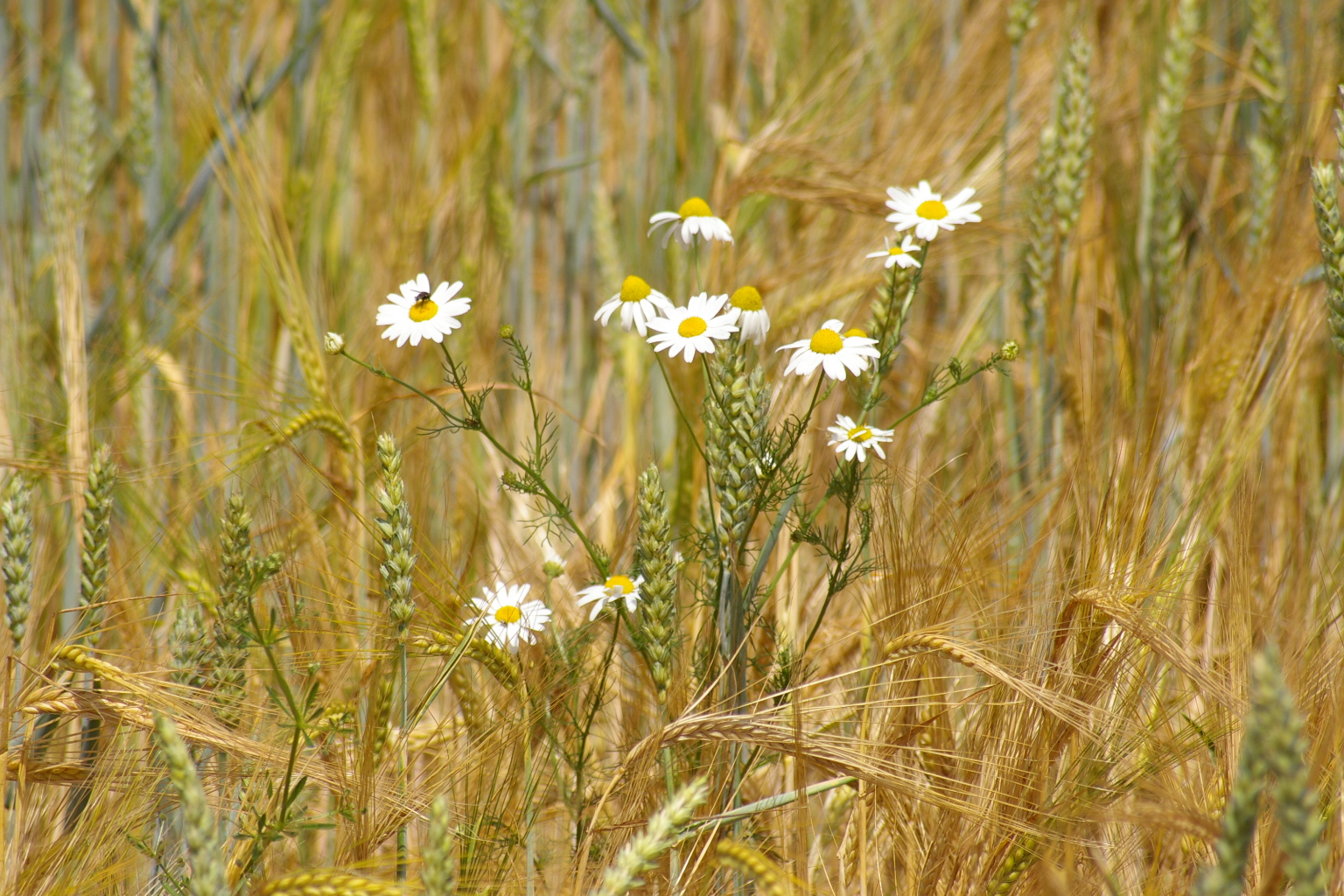 Kein Bett, sondern Blumen im Kornfeld