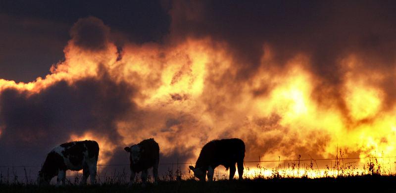 Kein Buschbrand ...Kühe vor dramatischer Sonnenuntergangsstimmung