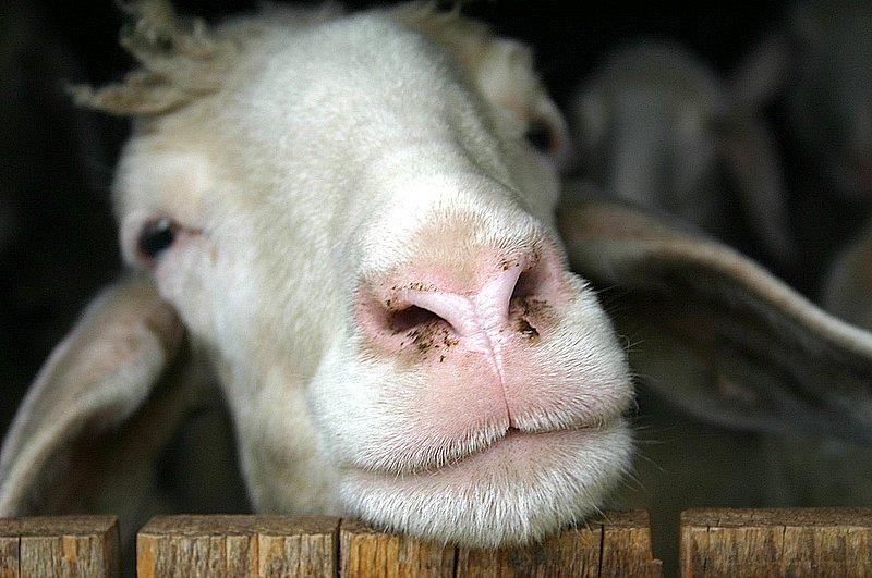 Kein dummes Schaf