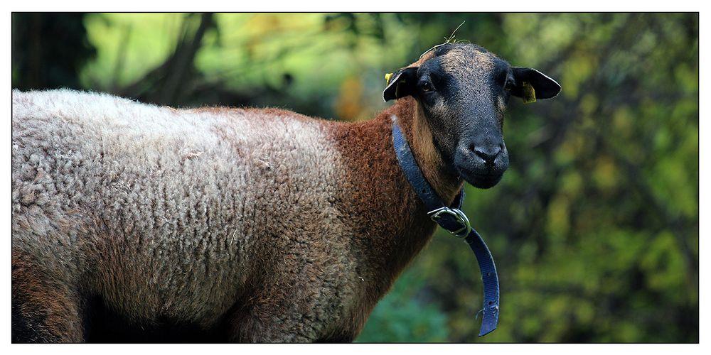 Kein Klischee-Schaf...
