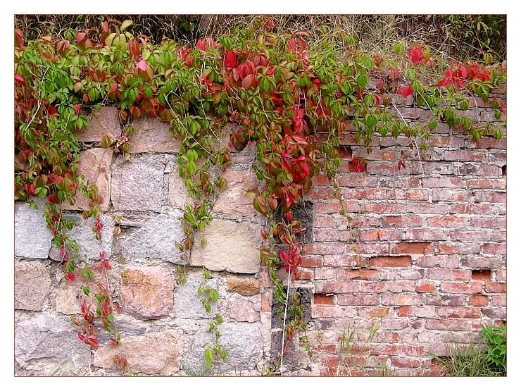 Kein Mauerblümchen - Mauerwein