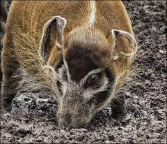 Kein Trüffelschwein.....
