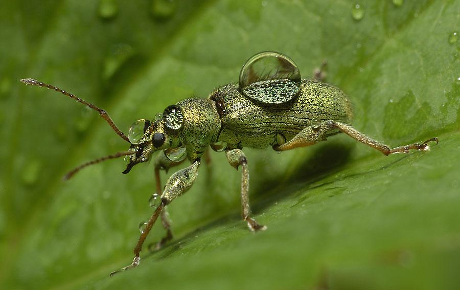 kein Wetter für einen Rüsselkäfer......