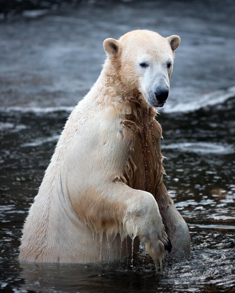 kein Zweifel, daß er ein Eisbär ist ...