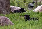 Keine Angst vor schwarzen Schafen