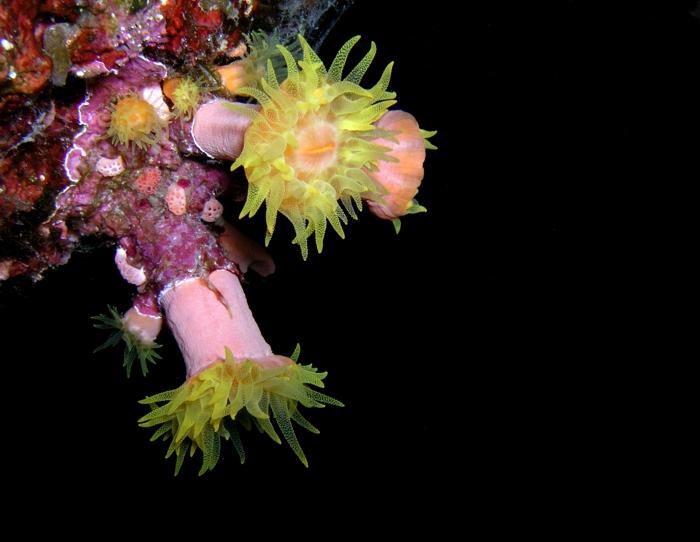 keine gelbe Seeanemonen