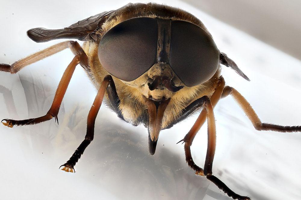 keine Hornissenschwebfliege