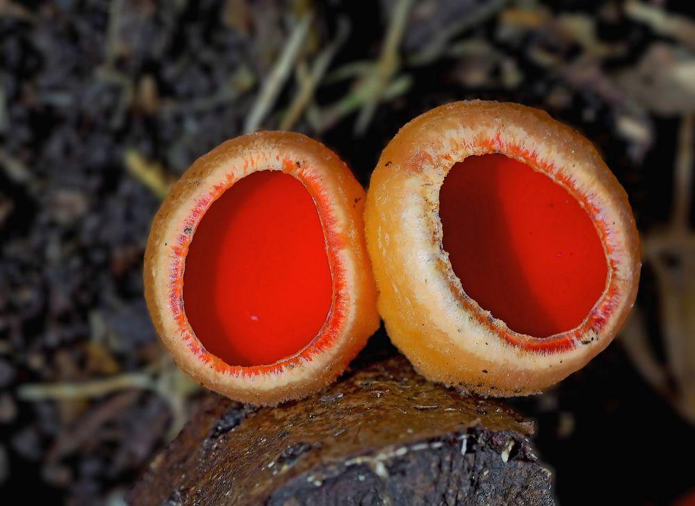 Kelchbecherlinge (Sarcoscypha) - Un champignon très décoratif.