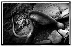 Kelp On Rock
