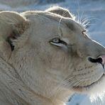 Kenia - die weisse Löwin