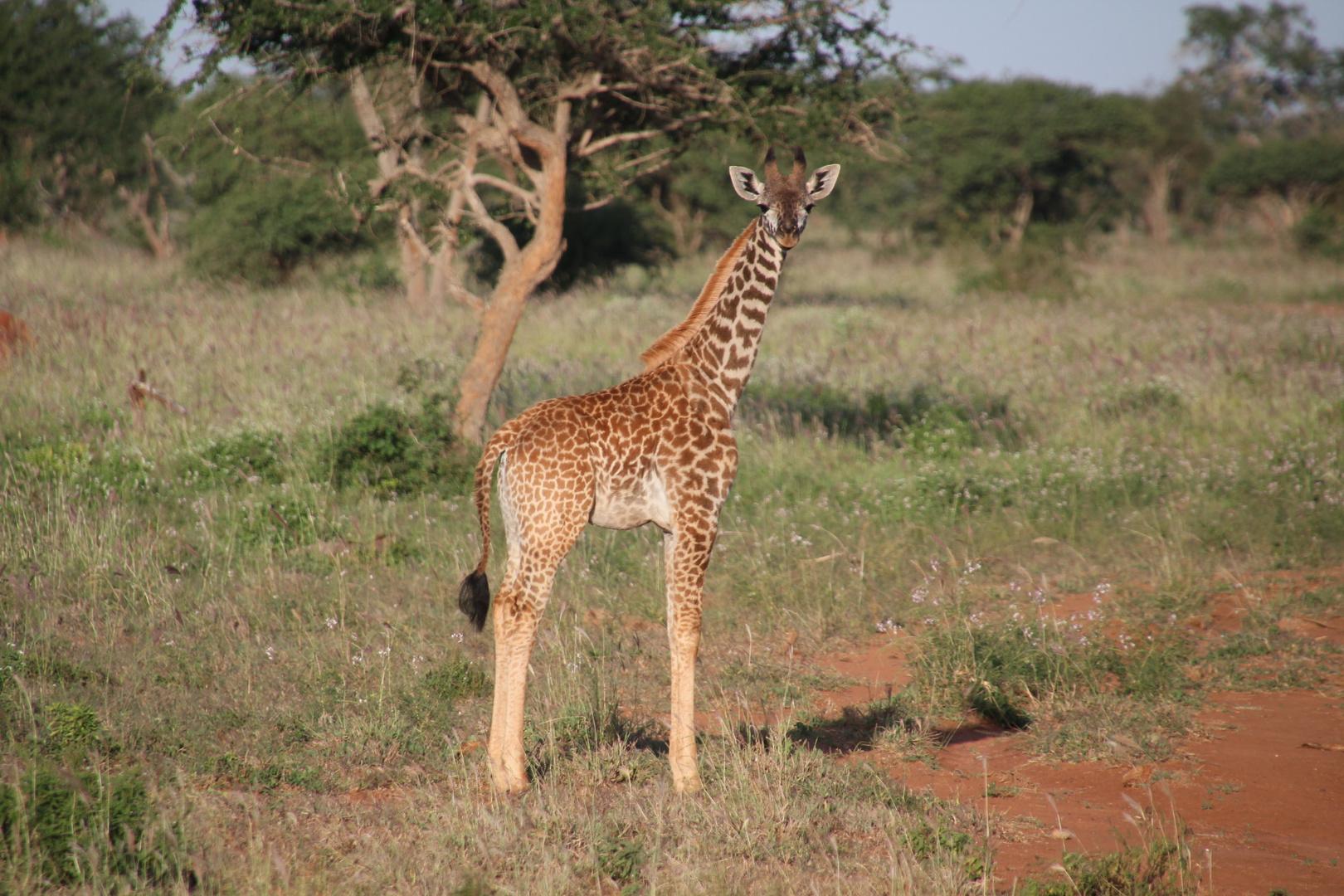 Kenia - Guckst Du