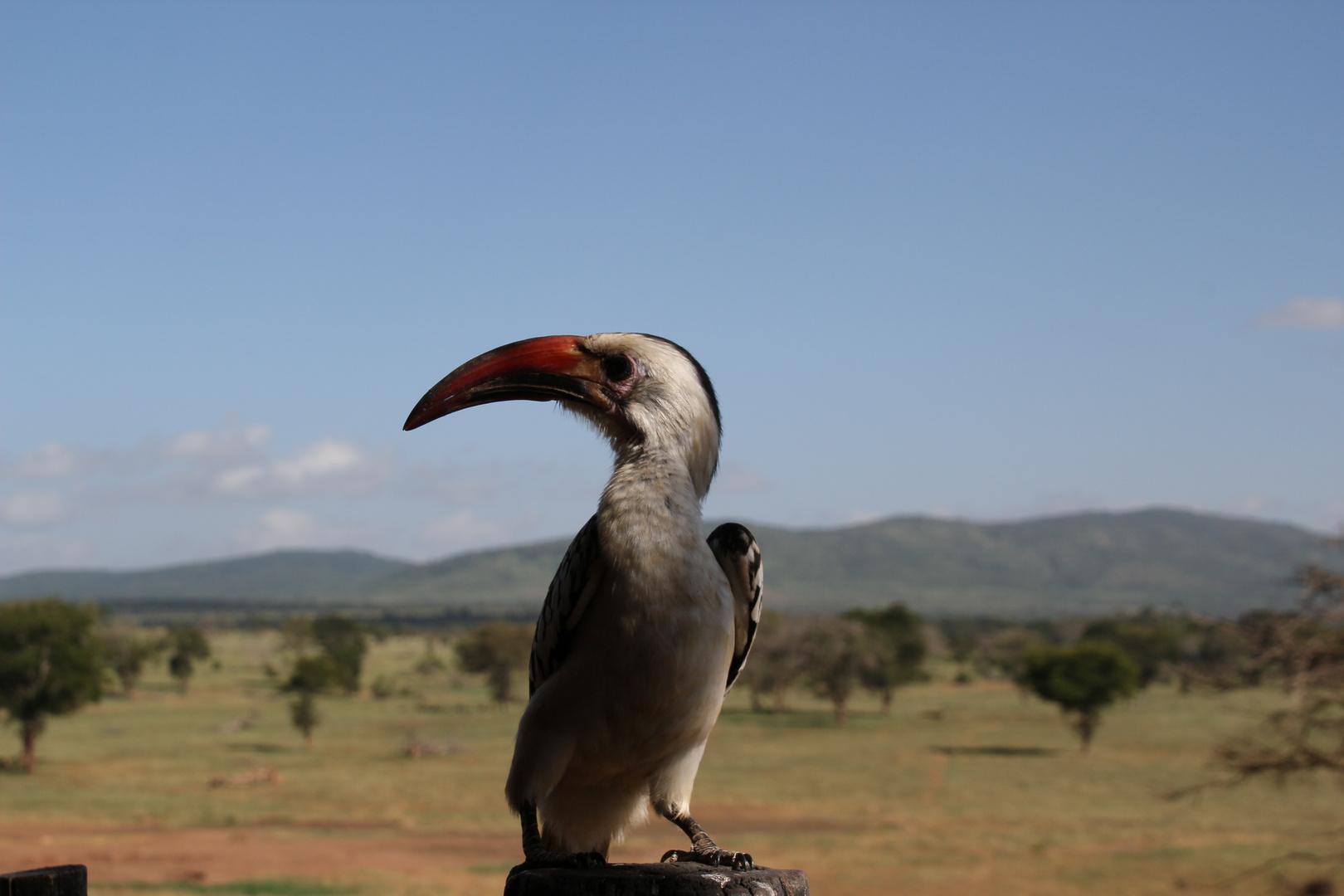 Kenia - Schnabel