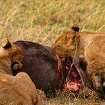 Kenias Tiere (4)