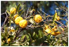 Kennst du die Farm auf der die Zitronen blüh`n?