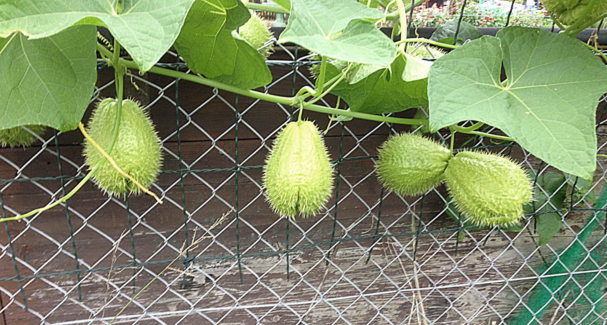 Kennt jemand diese stachligen  Früchte ?