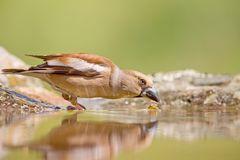 Kernbeisser / Hawfinch