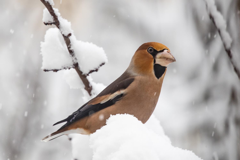 Kernbeisser im Schnee