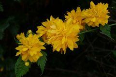 Kerria-Blüten /  Frühlingsgelb