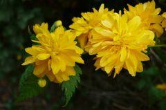 Kerria Blüten (Ranunkelstrauch)