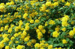 Kerria Strauch in voller Blütenpracht (Ostern 2007)