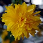 Kerrie, Ranunkelstrauch (Kerria japonica)