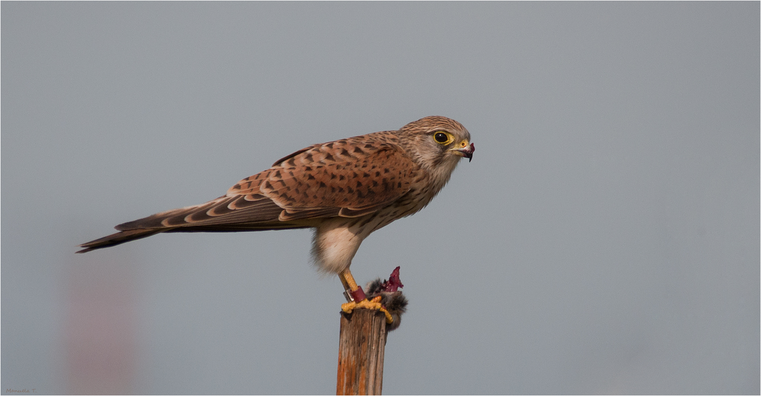 Kestrel with its meal