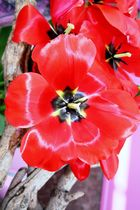 Keukenhof Lisse Niederlande (Tulpen) (23.03.2012)_1_1