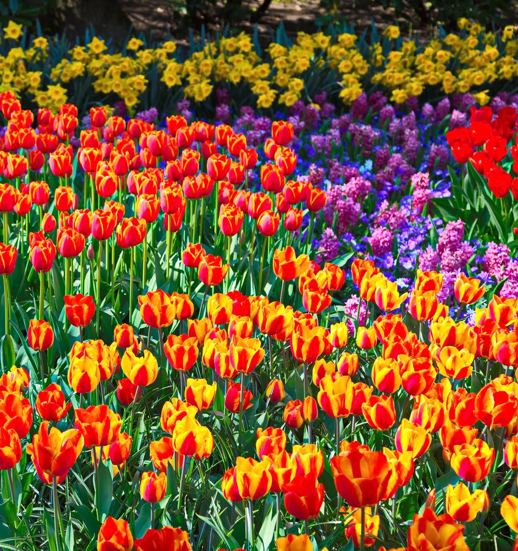 Keukenhof Tulpen im Farbrausch III