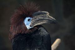 Keulen Hornvogel