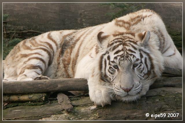 Kiara - die weiße Tigerin im Zoo Aschersleben