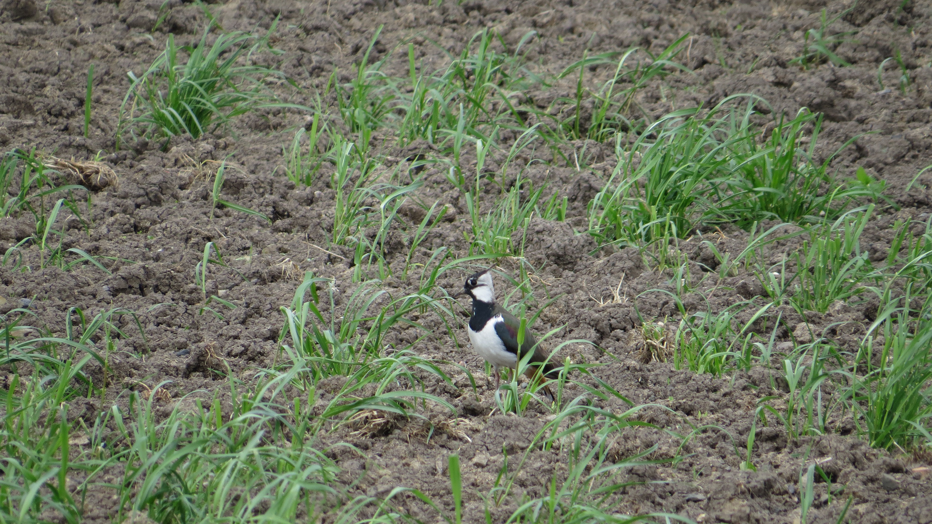 Kiebitz (Vanellus vanellus) (Feldpfau) 2