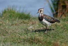 Kiebitz weibchen (Vanellus vanellus) ...