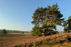 Kiefer zur Heideblüte