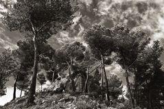 Kiefern in den Bergen von Mallorca