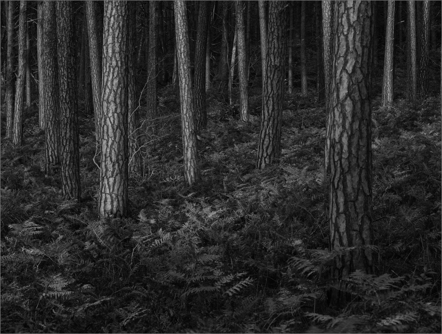 Kiefernwald am Weststrand von Prerow