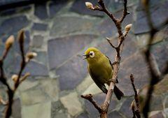 Kikuyu-Brillen-Vogel
