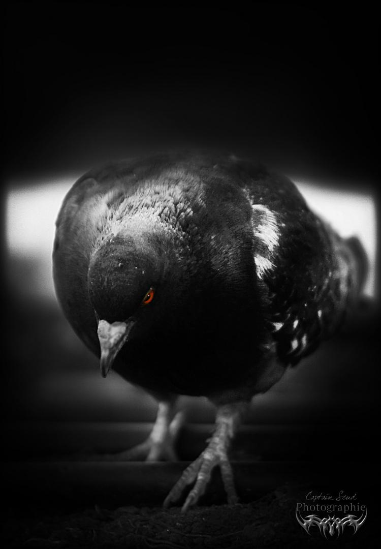 Killer pigeon