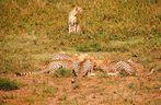 Killerkommando, junge Geparden lernen töten